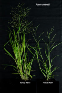 Representative morphology of Panicum hallii var. filipes and Panicum hallii var. hallii grown under controlled greenhouse conditions in Austin, Texas. Left is the FIL2 genotype; right is the HAL2 genotype. (Amalia Díaz)